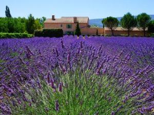 Lavendel-Feld in der Provence